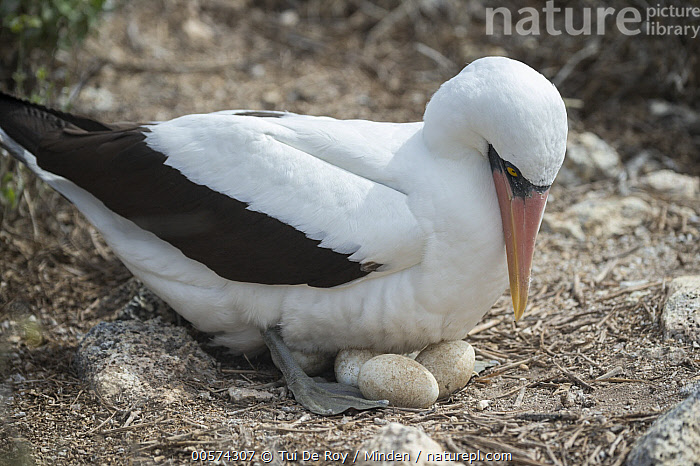 Nazca Booby (Sula granti) incubating eggs, Wolf Island, Galapagos Islands, Ecuador  ,  Adult, Color Image, Day, Ecuador, Egg, Galapagos Islands, Horizontal, Incubating, Nazca Booby, Nest, Nobody, One Animal, Outdoors, Parent, Photography, Seabird, Side View, Sula granti, Three Objects, Three Quarter Length, Wildlife, Wolf Island,Nazca Booby,Ecuador  ,  Tui De Roy