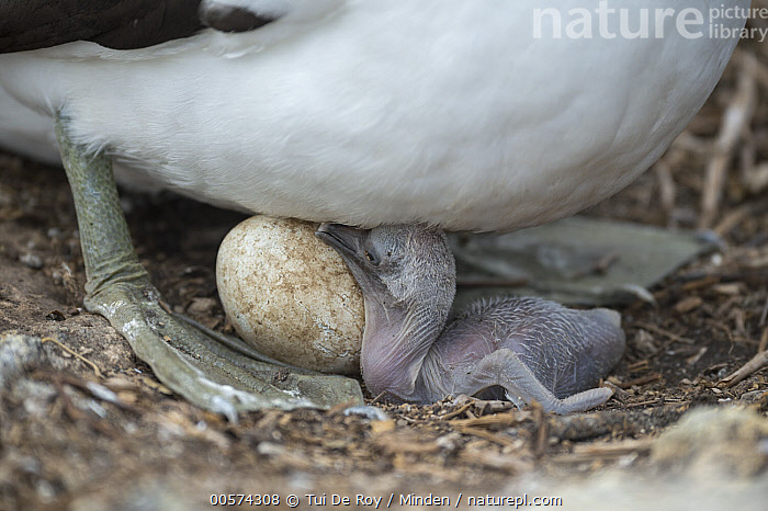 Nazca Booby (Sula granti) parent with chick and egg, Wolf Island, Galapagos Islands, Ecuador  ,  Adult, Baby, Chick, Color Image, Day, Ecuador, Egg, Full Length, Galapagos Islands, Horizontal, Nazca Booby, Nobody, One Object, Outdoors, Parent, Photography, Seabird, Side View, Sula granti, Two Animals, Wildlife, Wolf Island,Nazca Booby,Ecuador  ,  Tui De Roy
