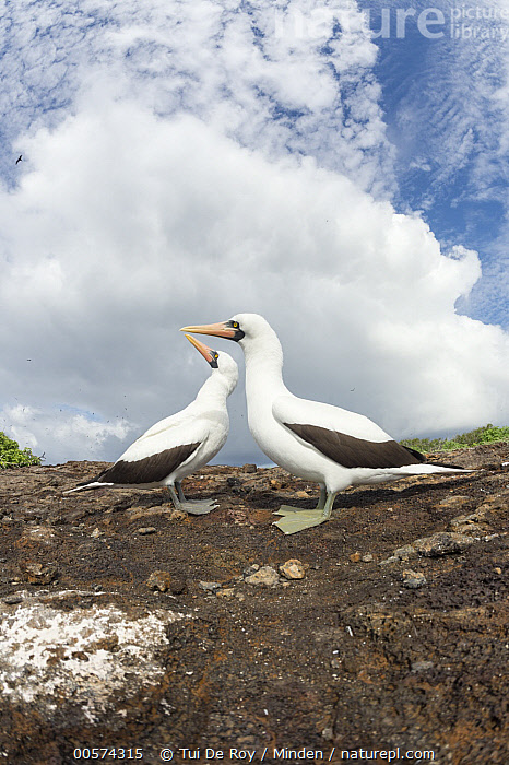 Nazca Booby (Sula granti) pair, Genovesa Island, Galapagos Islands, Ecuador  ,  Adult, Color Image, Day, Ecuador, Full Length, Galapagos Islands, Genovesa Island, Low Angle View, Nazca Booby, Nobody, Outdoors, Photography, Seabird, Side View, Sula granti, Two Animals, Vertical, Wildlife,Nazca Booby,Ecuador,Adult, Color Image, Day, Ecuador, Full Length, Galapagos Islands, Genovesa Island, Low Angle View, Nazca Booby, Nobody, Outdoors, Photography, Seabird, Side View, Sula granti, Two Animals, Vertical, Wildlife  ,  Tui De Roy