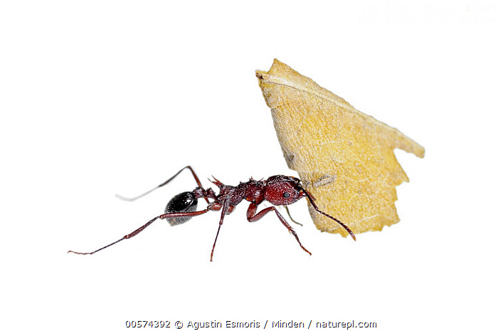 Leafcutter Ant (Acromyrmex striatus) carrying leaf, Pedro Luro, Argentina  ,  Acromyrmex striatus, Adult, Argentina, Carrying, Color Image, Cut Out, Day, Full Length, Horizontal, Indoors, Leaf, Leafcutter Ant, Nobody, One Animal, Pedro Luro, Photography, Side View, Strength, Strong, Studio, White Background, Wildlife,Leafcutter Ant,Argentina  ,  Agustin Esmoris