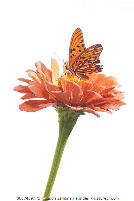 Gulf Fritillary (Agraulis vanillae) butterfly on Zinnia (Zinnia sp) flower, Bahia Blanca, Argentina  ,  Adult, Agraulis vanillae, Argentina, Bahia Blanca, Butterfly, Color Image, Cut Out, Day, Flower, Full Length, Gulf Fritillary, Indoors, Nobody, One Animal, Photography, Side View, Studio, Vertical, White Background, Wildlife, Zinnia, Zinnia sp,Gulf Fritillary,Zinnia,Zinnia sp,Argentina  ,  Agustin Esmoris