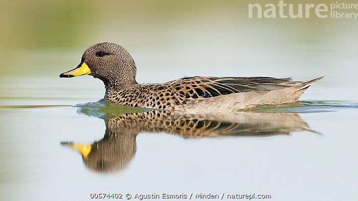 Speckled Teal (Anas flavirostris), Argentina  ,  Adult, Anas flavirostris, Argentina, Color Image, Day, Full Length, Horizontal, Nobody, One Animal, Outdoors, Photography, Reflection, Side View, Speckled Teal, Waterfowl, Wildlife,Speckled Teal,Argentina  ,  Agustin Esmoris