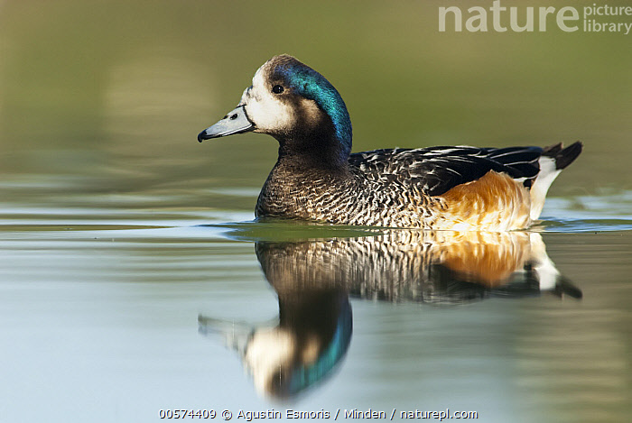 Chiloe Wigeon (Anas sibilatrix), Argentina  ,  Adult, Anas sibilatrix, Argentina, Chiloe Wigeon, Color Image, Day, Full Length, Horizontal, Nobody, One Animal, Outdoors, Photography, Reflection, Side View, Waterfowl, Wildlife,Chiloe Wigeon,Argentina  ,  Agustin Esmoris