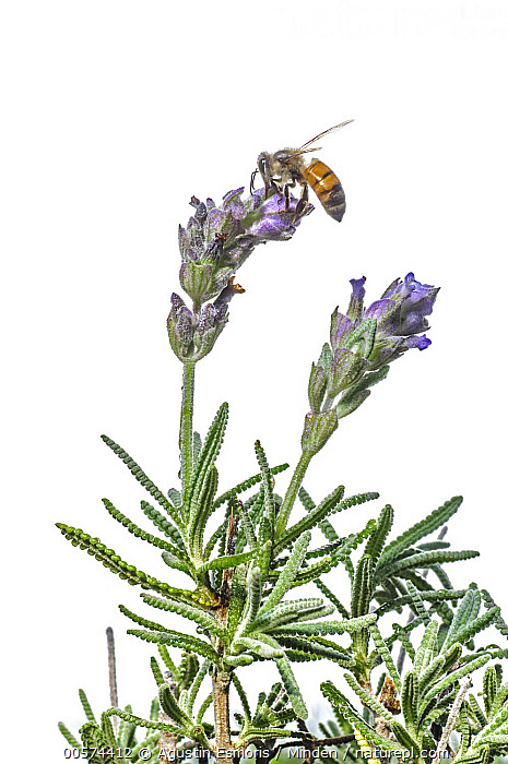 Honey Bee (Apis mellifera) feeding on Lavender (Lavandula sp) flower nectar, Argentina  ,  Adult, Apis mellifera, Argentina, Color Image, Cut Out, Day, Feeding, Flower, Full Length, Honey Bee, Indoors, Lavender, Lavandula sp, Nectar, Nobody, One Animal, Photography, Side View, Studio, Vertical, White Background, Wildlife,Honey Bee,Lavender,Lavandula sp,Argentina  ,  Agustin Esmoris