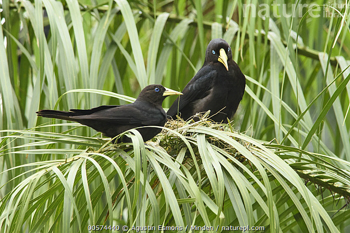 Red-rumped Cacique (Cacicus haemorrhous) pair building nest, Argentina  ,  Adult, Argentina, Building, Cacicus haemorrhous, Carrying, Color Image, Day, Full Length, Horizontal, Nest, Nesting, Nobody, Outdoors, Photography, Red-rumped Cacique, Side View, Songbird, Two Animals, Wildlife,Red-rumped Cacique,Argentina  ,  Agustin Esmoris