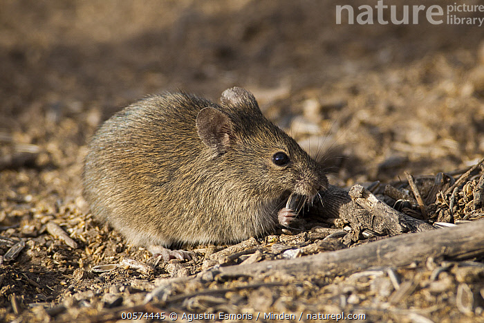 Drylands Vesper Mouse (Calomys musculinus) feeding on seeds, Argentina  ,  Adult, Argentina, Calomys musculinus, Color Image, Day, Drylands Vesper Mouse, Feeding, Full Length, Horizontal, Nobody, One Animal, Outdoors, Photography, Seed, Side View, Wildlife,Drylands Vesper Mouse,Argentina  ,  Agustin Esmoris