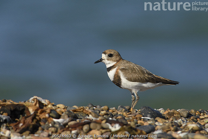 Two-banded Plover (Charadrius falklandicus), Puerto Madryn, Argentina  ,  Adult, Argentina, Charadrius falklandicus, Color Image, Day, Full Length, Horizontal, Nobody, One Animal, Outdoors, Photography, Puerto Madryn, Shorebird, Side View, Two-banded Plover, Wildlife,Two-banded Plover,Argentina  ,  Agustin Esmoris