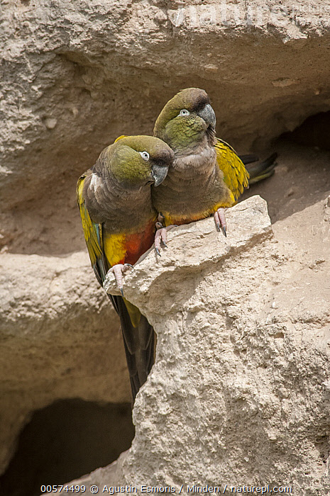 Burrowing Parrot (Cyanoliseus patagonus) pair, Bahia Blanca, Argentina  ,  Adult, Argentina, Bahia Blanca, Burrowing Parrot, Color Image, Cyanoliseus patagonus, Day, Front View, Full Length, Nobody, Outdoors, Parrot, Photography, Two Animals, Vertical, Wildlife,Burrowing Parrot,Argentina  ,  Agustin Esmoris