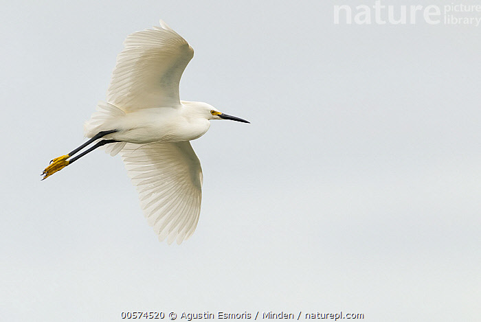 Snowy Egret (Egretta thula) flying, Argentina  ,  Adult, Argentina, Color Image, Day, Egretta thula, Flying, Full Length, Horizontal, Low Angle View, Nobody, One Animal, Outdoors, Photography, Side View, Snowy Egret, Wading Bird, Wildlife,Snowy Egret,Argentina  ,  Agustin Esmoris