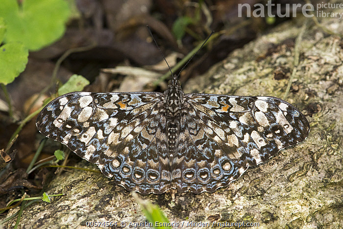Epinome Cracker (Hamadryas epinome) butterfly, Argentina  ,  Adult, Argentina, Butterfly, Color Image, Day, Epinome Cracker, Full Length, Hamadryas epinome, Horizontal, Nobody, One Animal, Outdoors, Photography, Top View, Wildlife,Epinome Cracker,Argentina  ,  Agustin Esmoris
