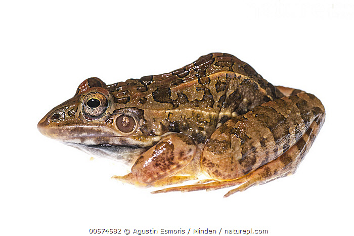 Rufous Frog (Leptodactylus fuscus), Argentina  ,  Adult, Argentina, Color Image, Cut Out, Day, Full Length, Horizontal, Indoors, Leptodactylus fuscus, Nobody, One Animal, Photography, Rufous Frog, Side View, Studio, White Background, Wildlife,Rufous Frog,Argentina  ,  Agustin Esmoris