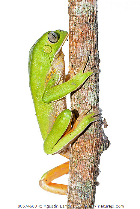 Tree Frog (Phyllomedusa tetraploidea) climbing, Argentina  ,  Adult, Argentina, Climbing, Color Image, Cut Out, Day, Full Length, Indoors, Nobody, One Animal, Photography, Phyllomedusa tetraploidea, Side View, Studio, Tree Frog, Vertical, White Background, Wildlife,Tree Frog,Argentina  ,  Agustin Esmoris