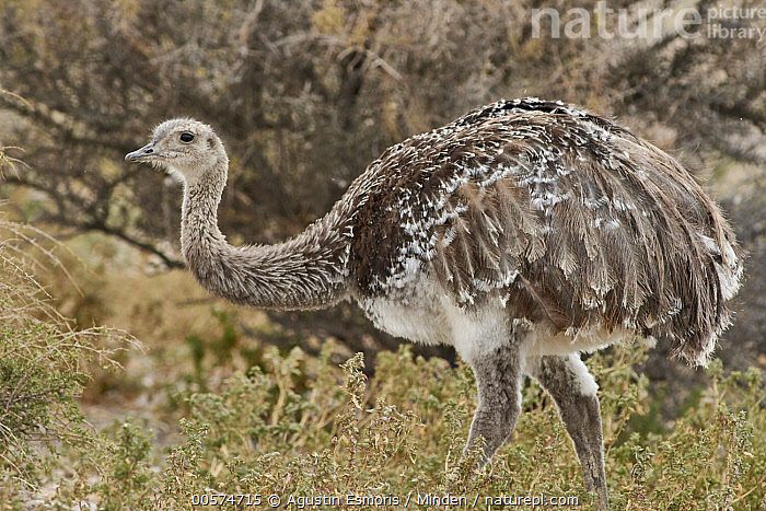 Lesser Rhea (Rhea pennata), Punta Tombo National Reserve, Argentina  ,  Adult, Argentina, Color Image, Day, Full Length, Horizontal, Lesser Rhea, Nobody, One Animal, Outdoors, Photography, Punta Tombo National Reserve, Rhea pennata, Side View, Wildlife,Lesser Rhea,Argentina  ,  Agustin Esmoris