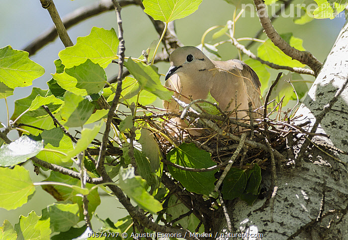 Eared Dove (Zenaida auriculata) on nest, Argentina  ,  Adult, Argentina, Color Image, Day, Eared Dove, Front View, Full Length, Horizontal, Incubating, Low Angle View, Nest, Nobody, One Animal, Outdoors, Photography, Wildlife, Zenaida auriculata,Eared Dove,Argentina  ,  Agustin Esmoris