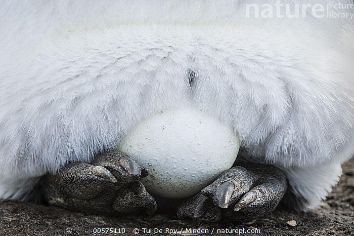 King Penguin (Aptenodytes patagonicus) egg resting on feet, Volunteer Beach, East Falkland Island, Falkland Islands  ,  Abstract, Adult, Aptenodytes patagonicus, Close Up, Color Image, Day, Detail, East Falkland Island, Egg, Falkland Islands, Feet, Front View, Horizontal, Incubating, King Penguin, Nobody, One Animal, One Object, Outdoors, Photography, Resting, Seabird, Volunteer Beach, Wildlife,King Penguin,Falkland Islands,Abstract, Adult, Aptenodytes patagonicus, Close Up, Color Image, Day, Detail, East Falkland Island, Egg, Falkland Islands, Feet, Front View, Horizontal, Incubating, King Penguin, Nobody, One Animal, One Object, Outdoors, Photography, Resting, Seabird, Volunteer Beach, Wildlife  ,  Tui De Roy
