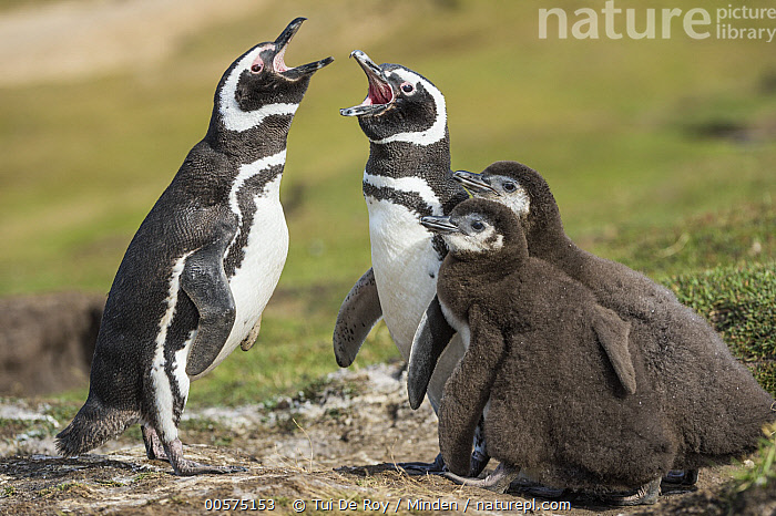 Magellanic Penguin (Spheniscus magellanicus) pair calling near chicks, Saunders Island, Falkland Islands  ,  Adult, Baby, Calling, Chick, Color Image, Day, Family, Falkland Islands, Father, Female, Four Animals, Full Length, Horizontal, Magellanic Penguin, Male, Mother, Nobody, Open Mouth, Outdoors, Parent, Photography, Saunders Island, Seabird, Side View, Spheniscus magellanicus, Wildlife,Magellanic Penguin,Falkland Islands  ,  Tui De Roy