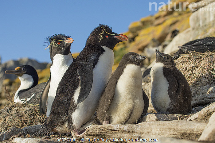 Southern Rockhopper Penguin (Eudyptes chrysocome) parents with chicks, Dunbar Island, Falkland Islands  ,  Adult, Baby, Chick, Color Image, Day, Dunbar Island, Eudyptes chrysocome, Familiar Chat, Falkland Islands, Five Animals, Full Length, Horizontal, Nobody, Outdoors, Parent, Photography, Rockhopper Penguin, Seabird, Threatened Species, Top View, Vulnerable Species, Wildlife,Rockhopper Penguin,Falkland Islands,Adult, Baby, Chick, Color Image, Day, Dunbar Island, Eudyptes chrysocome, Familiar Chat, Falkland Islands, Five Animals, Full Length, Horizontal, Nobody, Outdoors, Parent, Photography, Rockhopper Penguin, Seabird, Southern Rockhopper Penguin, Threatened Species, Top View, Vulnerable Species, Wildlife  ,  Tui De Roy