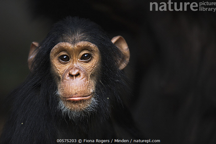 Eastern Chimpanzee (Pan troglodytes schweinfurthii) four year old juvenile male, Gombe National Park, Tanzania  ,  Color Image, Cute, Day, Eastern Chimpanzee, Front View, Gombe National Park, Head and Shoulders, Horizontal, Juvenile, Looking at Camera, Male, Nobody, Outdoors, Pan troglodytes schweinfurthii, Photography, Portrait, Tanzania, Two Animals, Wildlife,Eastern Chimpanzee,Tanzania  ,  Fiona Rogers
