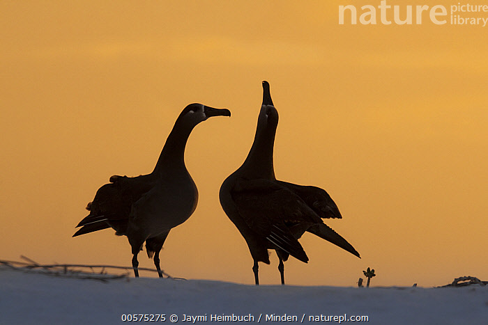 Black-footed Albatross (Phoebastria nigripes) pair courting, Midway Atoll, Hawaiian Leeward Islands, Hawaii, Adult, Black-footed Albatross, Color Image, Courting, Day, Displaying, Female, Full Length, Hawaii, Hawaiian Leeward Islands, Horizontal, Male, Midway Atoll, Nobody, Outdoors, Phoebastria nigripes, Photography, Posture, Seabird, Side View, Silhouette, Sunrise, Sunset, Two Animals, Wildlife,Black-footed Albatross,Hawaii, Jaymi Heimbuch