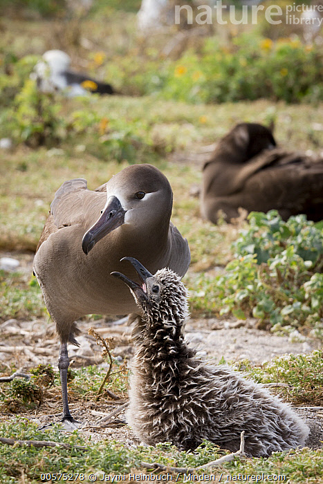 Black-footed Albatross (Phoebastria nigripes) parent with begging chick at nest, Midway Atoll, Hawaiian Leeward Islands, Hawaii, Adult, Baby, Begging, Black-footed Albatross, Chick, Color Image, Day, Front View, Full Length, Hawaii, Hawaiian Leeward Islands, Medium Group of Animals, Midway Atoll, Nest, Nobody, Open Mouth, Outdoors, Parent, Phoebastria nigripes, Photography, Seabird, Side View, Vertical, Wildlife,Black-footed Albatross,Hawaii, Jaymi Heimbuch