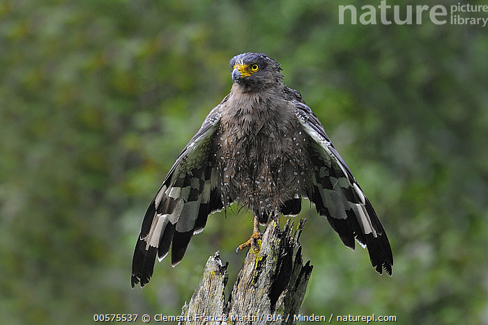 Crested Serpent-Eagle (Spilornis cheela) drying off, India  ,  Adult, Color Image, Crested Serpent-Eagle, Day, Drying, Front View, Full Length, Horizontal, India, Nobody, One Animal, Outdoors, Photography, Raptor, Spilornis cheela, Spreading Wings, Wet, Wildlife,Crested Serpent-Eagle,India  ,  Clement Francis Martin/ BIA