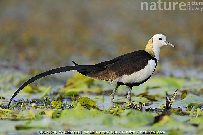 Pheasant-tailed Jacana (Hydrophasianus chirurgus), India  ,  Adult, Color Image, Day, Full Length, Horizontal, Hydrophasianus chirurgus, India, Nobody, One Animal, Outdoors, Pheasant-tailed Jacana, Photography, Shorebird, Side View, Wildlife,Pheasant-tailed Jacana,India  ,  Clement Francis Martin/ BIA