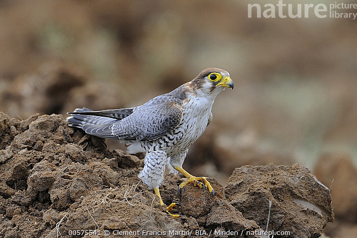 Red-necked Falcon (Falco chicquera), India  ,  Adult, Color Image, Day, Falco chicquera, Full Length, Horizontal, India, Nobody, One Animal, Outdoors, Photography, Raptor, Red-necked Falcon, Side View, Wildlife,Red-necked Falcon,India  ,  Clement Francis Martin/ BIA