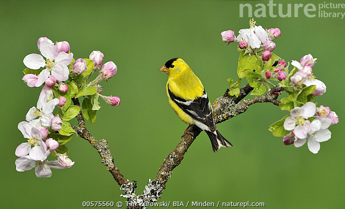 American Goldfinch (Carduelis tristis) male, British Columbia, Canada  ,  Adult, American Goldfinch, British Columbia, Canada, Carduelis tristis, Color Image, Day, Flowering, Flower, Full Length, Horizontal, Male, Nobody, One Animal, Outdoors, Photography, Side View, Songbird, Wildlife,American Goldfinch,Canada  ,  Tim Zurowski/ BIA