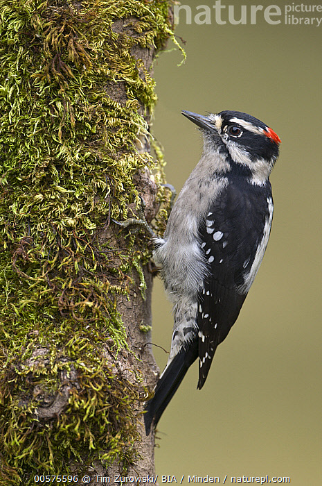 Downy Woodpecker (Picoides pubescens) male, British Columbia, Canada  ,  Adult, British Columbia, Canada, Color Image, Day, Downy Woodpecker, Full Length, Male, Nobody, One Animal, Outdoors, Photography, Picoides pubescens, Side View, Vertical, Wildlife,Downy Woodpecker,Canada  ,  Tim Zurowski/ BIA