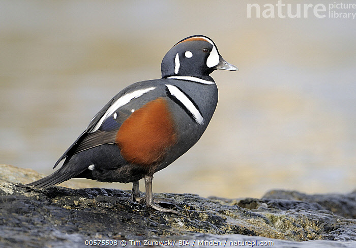 Harlequin Duck (Histrionicus histrionicus) male, British Columbia, Canada  ,  Adult, British Columbia, Canada, Color Image, Day, Full Length, Harlequin Duck, Histrionicus histrionicus, Horizontal, Male, Nobody, One Animal, Outdoors, Photography, Side View, Waterfowl, Wildlife,Harlequin Duck,Canada  ,  Tim Zurowski/ BIA