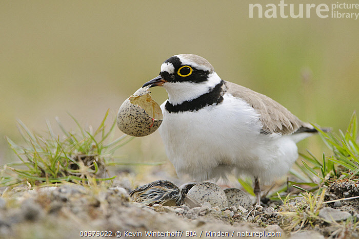 Little Ringed Plover (Charadrius dubius) parent removing egg shell from nest, North Rhine-Westphalia, Germany  ,  Adult, Baby, Carrying, Charadrius dubius, Chick, Cleaning, Color Image, Day, Egg, Full Length, Germany, Horizontal, Little Ringed Plover, Nest, Newborn, Nobody, North Rhine-Westphalia, Outdoors, Parent, Photography, Removing, Shell, Shorebird, Side View, Two Animals, Wildlife,Little Ringed Plover,Germany  ,  Kevin Winterhoff/ BIA
