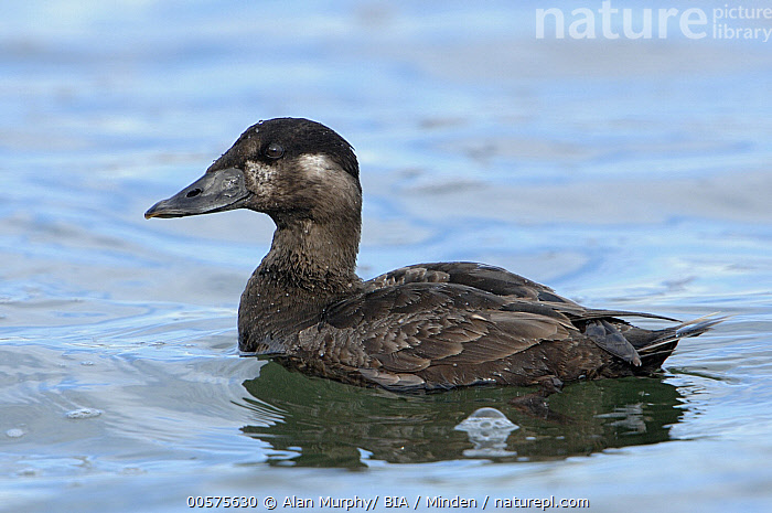 Surf Scoter (Melanitta perspicillata) female, California  ,  Adult, California, Color Image, Day, Female, Full Length, Horizontal, Melanitta perspicillata, Nobody, One Animal, Outdoors, Photography, Side View, Surf Scoter, Waterfowl, Wildlife,Surf Scoter,California, USA  ,  Alan Murphy/ BIA