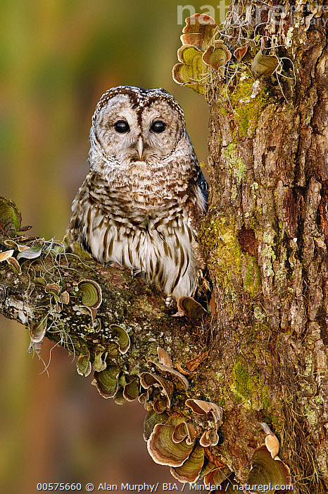 Barred Owl (Strix varia), Florida  ,  Adult, Barred Owl, Color Image, Day, Florida, Front View, Full Length, Looking at Camera, Nobody, One Animal, Outdoors, Photography, Raptor, Strix varia, Vertical, Wildlife,Barred Owl,Florida, USA  ,  Alan Murphy/ BIA