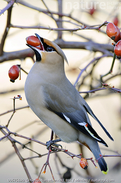 Bohemian Waxwing (Bombycilla garrulus) feeding on berries, Thuringia, Germany  ,  Adult, Berry, Bohemian Waxwing, Bombycilla garrulus, Color Image, Day, Feeding, Full Length, Germany, Nobody, One Animal, Outdoors, Photography, Side View, Songbird, Thuringia, Vertical, Wildlife,Bohemian Waxwing,Germany  ,  Sebastian Muenter/ BIA