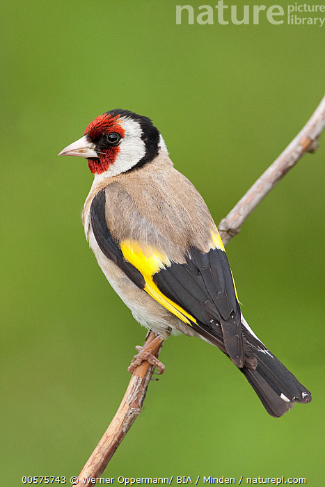 European Goldfinch (Carduelis carduelis), Lower Saxony, Germany  ,  Adult, Carduelis carduelis, Color Image, Day, European Goldfinch, Full Length, Germany, Lower Saxony, Nobody, One Animal, Outdoors, Photography, Side View, Songbird, Vertical, Wildlife,European Goldfinch,Germany  ,  Werner Oppermann/ BIA