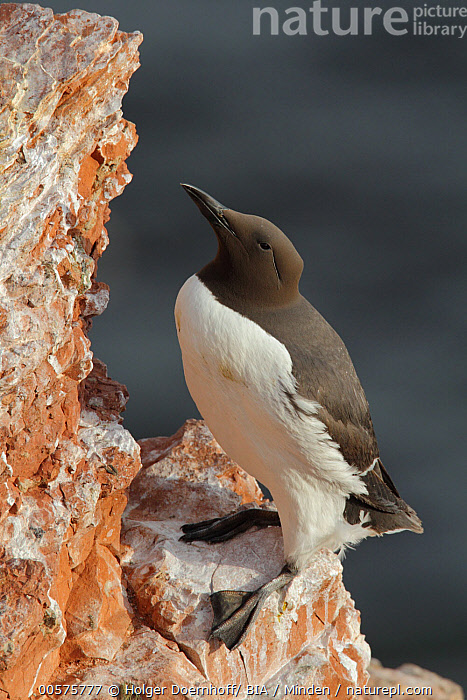Common Murre (Uria aalge), Schleswig-Holstein, Germany  ,  Adult, Color Image, Common Murre, Day, Full Length, Germany, Nobody, One Animal, Outdoors, Photography, Schleswig-Holstein, Seabird, Side View, Uria aalge, Vertical, Wildlife,Common Murre,Germany  ,  Holger Doernhoff/ BIA