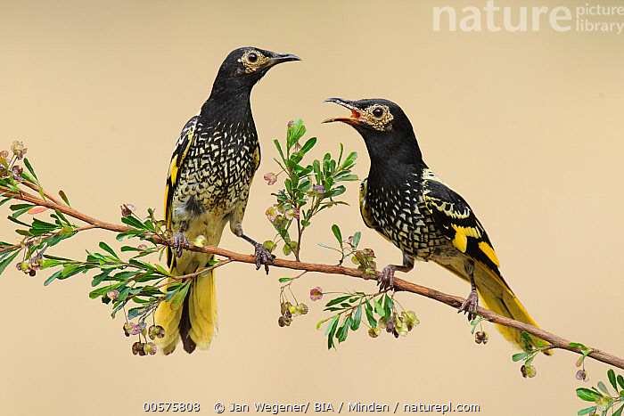 Regent Honeyeater (Anthochaera phrygia) pair, New South Wales, Australia, Adult, Anthochaera phrygia, Australia, Calling, Color Image, Day, Facing, Front View, Full Length, Horizontal, New South Wales, Nobody, Open Mouth, Outdoors, Photography, Regent Honeyeater, Side View, Songbird, Two Animals, Wildlife,Regent Honeyeater,Australia, Jan Wegener/ BIA