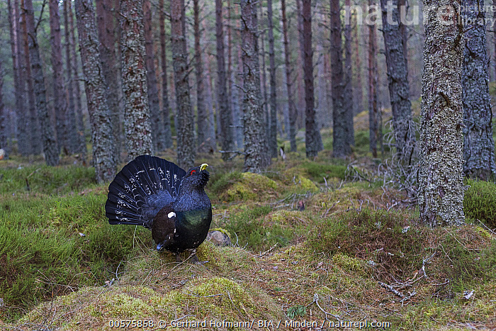 Western Capercaillie (Tetrao urogallus) male displaying in forest, Scotland, United Kingdom  ,  Adult, Animal in Habitat, Color Image, Day, Displaying, Forest, Full Length, Gamebird, Horizontal, Male, Nobody, One Animal, Outdoors, Photography, Scotland, Side View, Tetrao urogallus, United Kingdom, Western Capercaillie, Wildlife,Western Capercaillie,United Kingdom  ,  Gerhard Hofmann/ BIA
