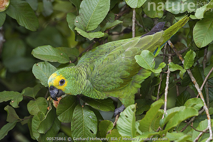 Blue-fronted Parrot (Amazona aestiva), Mato Grosso do Sul, Brazil  ,  Adult, Amazona aestiva, Blue-fronted Parrot, Brazil, Color Image, Day, Full Length, Horizontal, Mato Grosso do Sul, Nobody, One Animal, Outdoors, Parrot, Photography, Side View, Wildlife,Blue-fronted Parrot,Brazil  ,  Gerhard Hofmann/ BIA