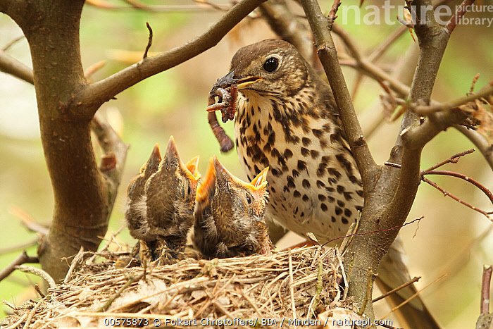 Song Thrush (Turdus philomelos) parent bringing food to begging chicks, Lower Saxony, Germany  ,  Adult, Baby, Begging, Bringing Food, Carrying, Chick, Color Image, Day, Feeding, Four Animals, Germany, Head and Shoulders, Horizontal, Lower Saxony, Nest, Nobody, Open Mouth, Outdoors, Parent, Parenting, Photography, Rear View, Song Thrush, Songbird, Three Quarter Length, Turdus philomelos, Wildlife,Song Thrush,Germany  ,  Folkert Christoffers/ BIA
