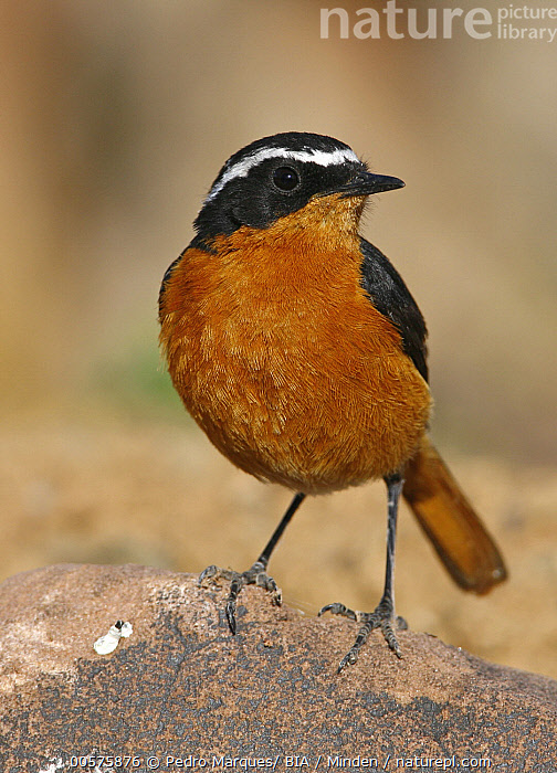 Moussier's Redstart (Phoenicurus moussieri) male, Morocco  ,  Adult, Color Image, Day, Front View, Full Length, Male, Morocco, Moussier's Redstart, Nobody, One Animal, Outdoors, Phoenicurus moussieri, Photography, Songbird, Vertical, Wildlife,Moussier's Redstart,Morocco  ,  Pedro Marques/ BIA