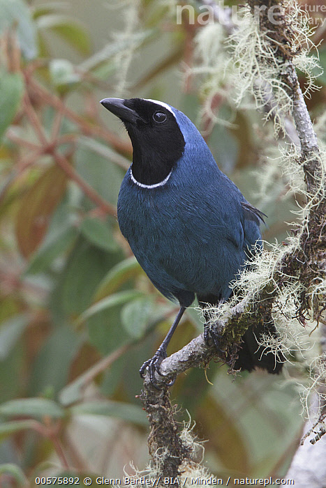 White-collared Jay (Cyanolyca viridicyana), Bolivia  ,  Adult, Bolivia, Color Image, Cyanolyca viridicyana, Day, Front View, Full Length, Nobody, One Animal, Outdoors, Photography, Songbird, Vertical, White-collared Jay, Wildlife,White-collared Jay,Bolivia  ,  Glenn Bartley/ BIA
