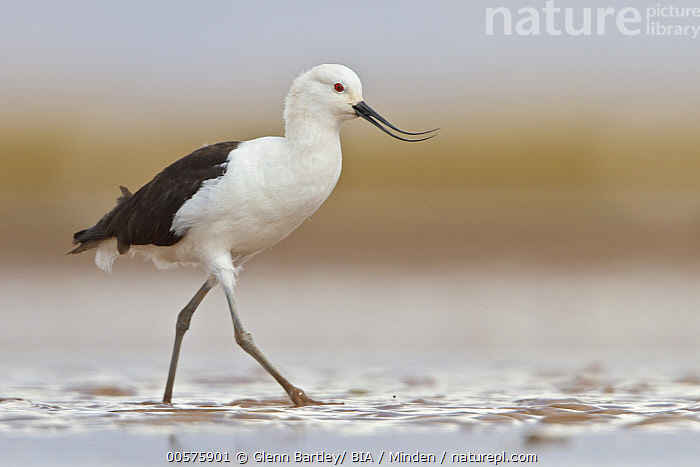 Andean Avocet (Recurvirostra andina), Bolivia  ,  Adult, Andean Avocet, Bolivia, Color Image, Day, Full Length, Horizontal, Nobody, One Animal, Outdoors, Photography, Recurvirostra andina, Shorebird, Side View, Wildlife,Andean Avocet,Bolivia  ,  Glenn Bartley/ BIA