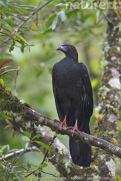 Black Guan (Chamaepetes unicolor), Costa Rica  ,  Adult, Black Guan, Chamaepetes unicolor, Color Image, Costa Rica, Day, Front View, Full Length, Gamebird, Nobody, One Animal, Outdoors, Photography, Vertical, Wildlife,Black Guan,Costa Rica  ,  Glenn Bartley/ BIA
