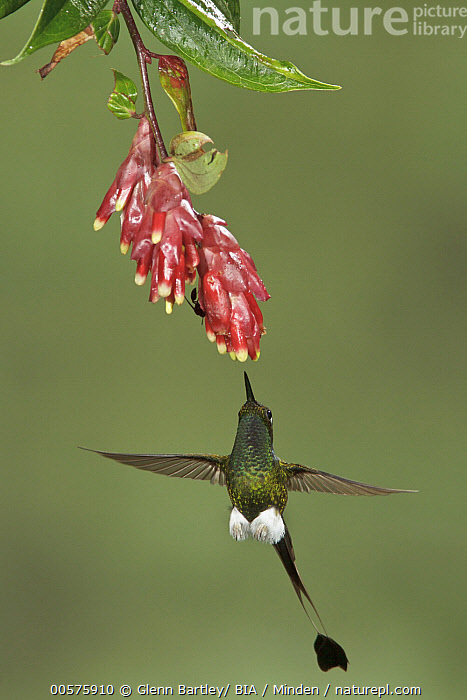 Booted Racket-tail (Ocreatus underwoodii) hummingbird feeding on flower nectar, Ecuador  ,  Adult, Booted Racket-tail, Color Image, Day, Ecuador, Feeding, Flower, Flying, Front View, Full Length, High Speed, Hovering, Hummingbird, Nectar, Nobody, Ocreatus underwoodii, One Animal, Outdoors, Photography, Vertical, Wildlife,Booted Racket-tail,Ecuador  ,  Glenn Bartley/ BIA