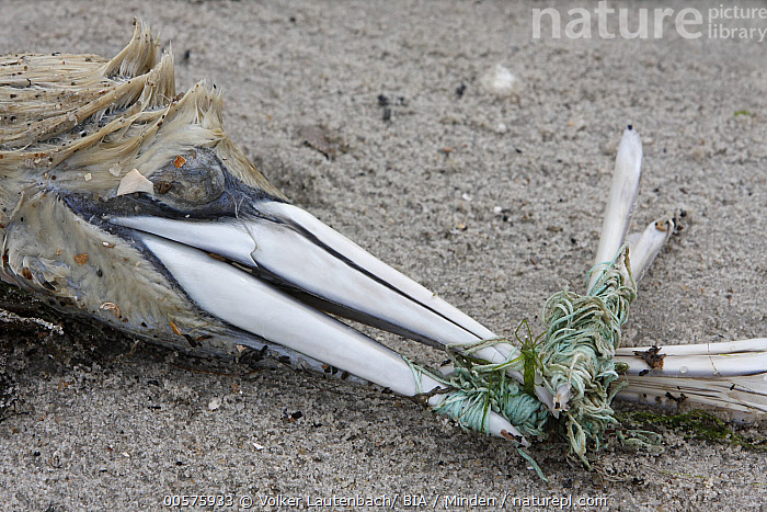 Northern Gannet (Morus bassanus) carcass with bill tangled in fishing line, Lower Saxony, Germany  ,  Adult, Carcass, Color Image, Day, Dead, Death, Entangled, Environmental Issue, Fishing Line, Germany, Head, Horizontal, Lower Saxony, Morus bassanus, Nobody, Northern Gannet, One Animal, Outdoors, Photography, Pollution, Seabird, Side View, Wildlife,Northern Gannet,Germany  ,  Volker Lautenbach/ BIA