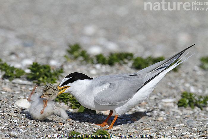 Little Tern (Sternula albifrons) parent grabbing chick, Lower Saxony, Germany  ,  Adult, Baby, Chick, Color Image, Day, Full Length, Germany, Grabbing, Horizontal, Little Tern, Lower Saxony, Nobody, Outdoors, Parent, Photography, Seabird, Side View, Sternula albifrons, Two Animals, Wildlife,Little Tern,Germany  ,  Volker Lautenbach/ BIA