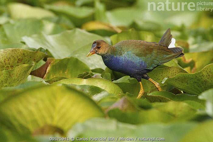 Purple Gallinule (Porphyrio martinicus) juvenile, Lisbon, Portugal  ,  Color Image, Day, Full Length, Horizontal, Juvenile, Lisbon, Nobody, One Animal, Outdoors, Photography, Portugal, Porphyrio martinicus, Purple Gallinule, Side View, Water Bird, Wildlife,Purple Gallinule,Portugal  ,  Carlos Patricio/ BIA