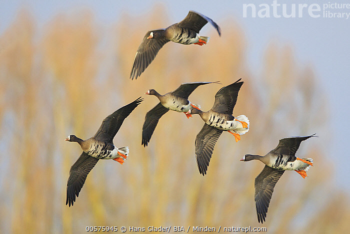 White-fronted Goose (Anser albifrons) flock flying, North Rhine-Westphalia, Germany  ,  Adult, Anser albifrons, Color Image, Day, Five Animals, Flock, Flying, Full Length, Germany, Horizontal, Nobody, North Rhine-Westphalia, Outdoors, Photography, Side View, Waterfowl, White-fronted Goose, Wildlife,White-fronted Goose,Germany  ,  Hans Glader/ BIA