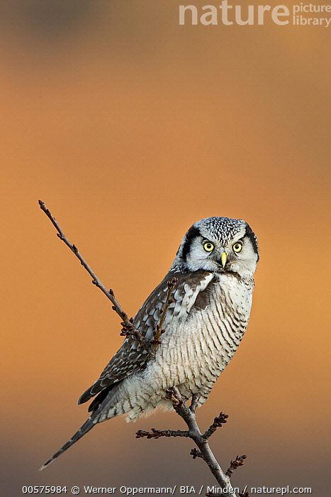 Northern Hawk Owl (Surnia ulula), Saxony, Germany  ,  Adult, Color Image, Day, Full Length, Germany, Looking at Camera, Nobody, Northern Hawk Owl, One Animal, Outdoors, Photography, Raptor, Saxony, Side View, Surnia ulula, Vertical, Wildlife,Northern Hawk Owl,Germany  ,  Werner Oppermann/ BIA